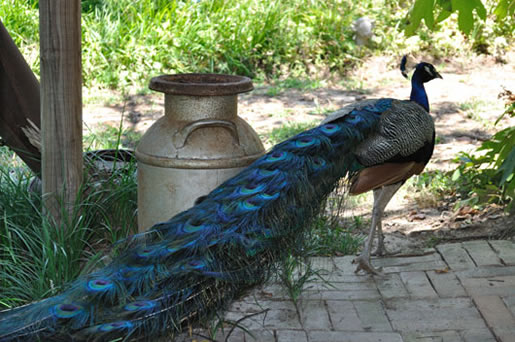 Holly Hill's Resident Peacock